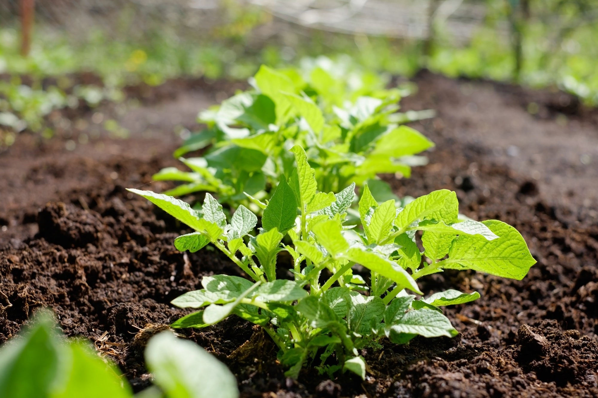Green potato plant. Leaf of vegetable. Organic food agriculture in garden, field or farm in a row.